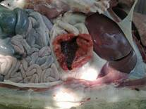 Ulcera gástrica en cerdo
