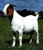 Live Boer Goats For Sale