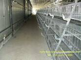 commercial poultry farming_shandong tobetter popular
