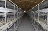 hatching chickens_shandong tobetter satisfy customer's request