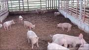 Criação de suínos em cama sobreposta. José Marcos Lopes