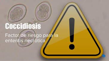 Coccidiosis: Factores de riesgo para la enteritis necrótica