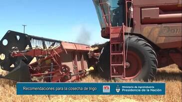 Cosecha de Trigo afectado por Roya Amarilla