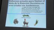 Enteritis Necrótica: Esfuerzos para limitar el daño en aves criadas sin antibióticos