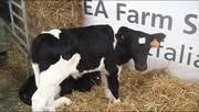 Amamantadora de Terneros - GEA Farm Technologies - NicolasTorterolo