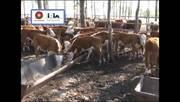 Requerimientos Nutricionales de Terneros en Verano. Carolina Viñoles.