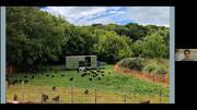 Gallinas en pastoreo regenerativo