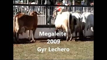 Gir Leiteiro - Ivan Luz Lédic