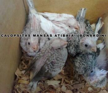 calopsitas mansas Atibaia / Bonardini