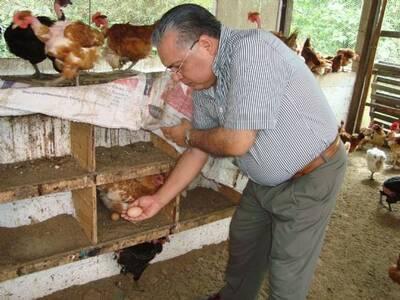 Recolecta de huevos en galpón rústico de gallinas ponedoras
