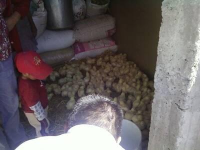 Entrega de aves a los productores