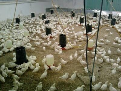 Producción de polla blanca