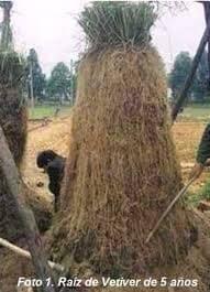 Foto de planta de vetiver y su raíz