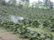 Fertilizacion foliar en Lulo