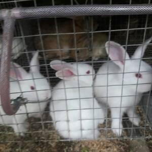 Crias de conejos