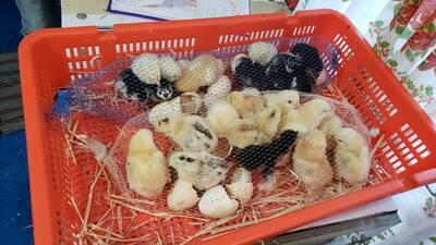 Pollitos de un día de nacido