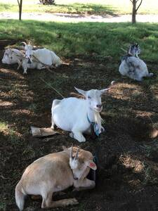 Mis cabras