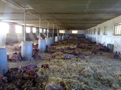 Lechones en Paja