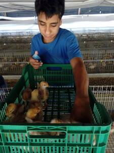 Vacunando las pollitas