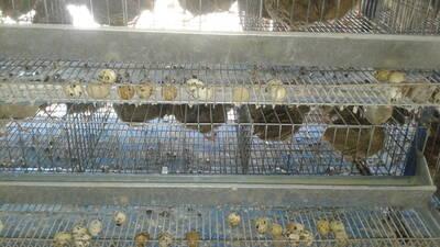 produccion de huevos  codornices