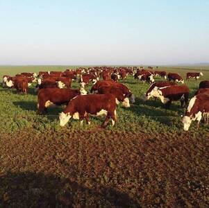 Rodeo Polled Hereford