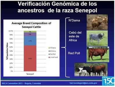Genomica de Ancestros del Senepol
