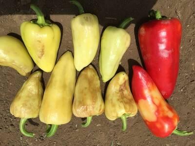 Virus de la Marchitez Manchada del Tomate en Chile Amarillo