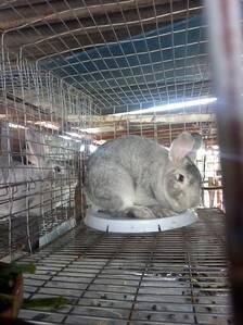 Conejo chinchilla gigante de 5 meses