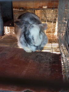 Conejo arlequín