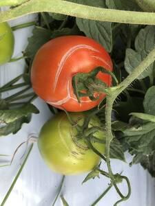 Ruptura de Frutos de Tomate Verdes y Maduros