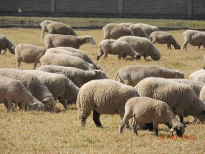 Producción corderos ciclo completo
