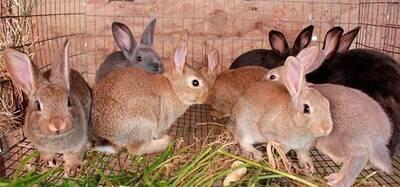 Conejas reproductoras