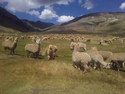 Ganadería Fundo Condorwasi Accocunca-Ocongate-Cusco