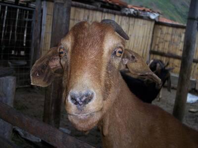 Mis cabritas lecheras, raza anglo (andino) nubianas