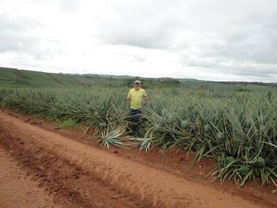Inspección en cultivo de piña MD2