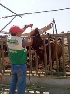 Aplicación de activador ruminal en vacas de producción