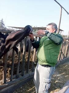 Aplicación de activador ruminal ,vaca recién parida