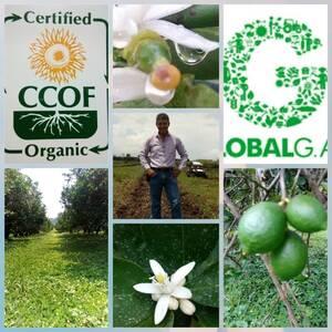 Protocolo de Globalgap y CCOF organico en cultivo de Limon Persa