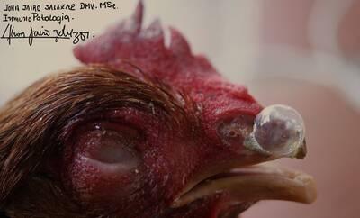 CORIZA IFECCIOSA-lote gallina roja