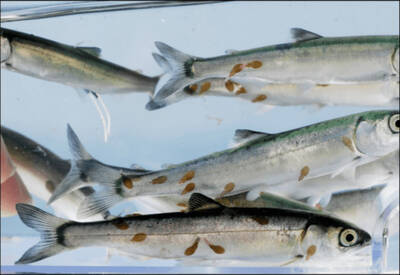 Eucabiotics -A new solution to sea lice