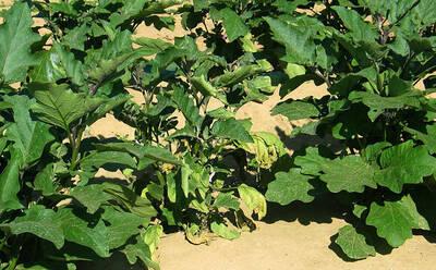 Planta de Berenjena (Solanum melongena) atacada por Verticillium spp
