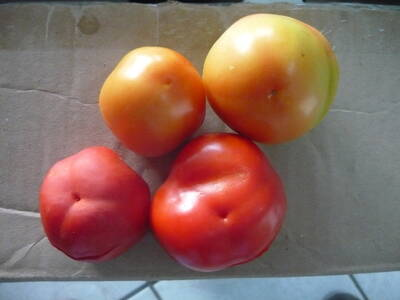 Tomates con Blossom End Rot
