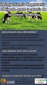 La importancia de prevenir el hígado graso y cetosis de las vacas lecheras