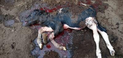 Ternero nacido muerto con abdomen abultado