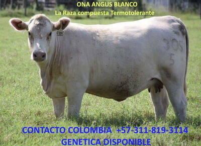 305 vaca  Angus Blanco 2 años parida
