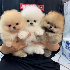 Cachorros de Pomerania Disponibles para adopción.
