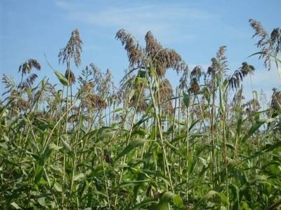 El nombre  es millo  cebada [Sorghum  bicolor (L.) Moench  ssp..  bicolor  raza guinea ]