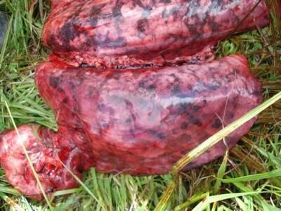 Pulmón de cerdo afectado