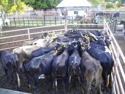 Manejo del ganado en instalaciones tecnificadas