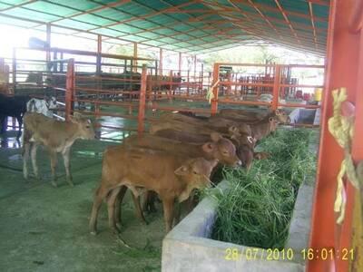 Crías de vacas F1 con senepol